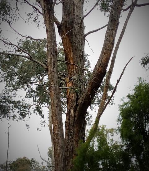 Kookaburras at Uambi 2019